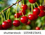 sour cherry fruits on the tree   Shutterstock . vector #1054815641