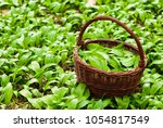 wild garlic harvesting basket...   Shutterstock . vector #1054817549