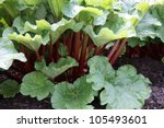 A Healthy Rhubarb On A Bright...