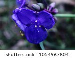 Tradescantia ohiensis, commonly referred to as spiderwort, is a native of the United States. The plant grows in U.S. Department of Agriculture hardiness zones 5 through 10.