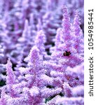 Small photo of Beautiful Bushes of flowers Astilbe with a fluffy pink panicles and a bumble bee on the flower closeup, nice background