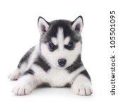 cute little husky puppy | Shutterstock . vector #105501095