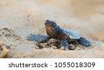 Small photo of Caretta caretta, Reptilia