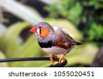 the zebra finch is the most...   Shutterstock . vector #1055020451