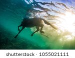 swimming horse in clear sea ... | Shutterstock . vector #1055021111