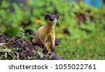 martes flavigula  mammalia | Shutterstock . vector #1055022761