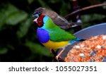 the gouldian finch  erythrura... | Shutterstock . vector #1055027351