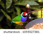 the gouldian finch  erythrura... | Shutterstock . vector #1055027381