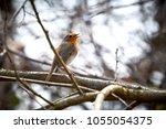 european robin  erithacus...   Shutterstock . vector #1055054375