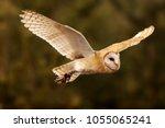 Flying Barn Owl In Detail