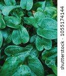 philodendron cordatum ... | Shutterstock . vector #1055174144