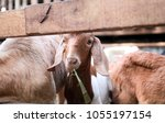 goat in farm background in... | Shutterstock . vector #1055197154