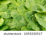 fresh baby spinach leaves...   Shutterstock . vector #1055233517