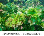 Small photo of Acalypha wilkesiana copperleaf