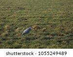 gray heron with prey in its beak | Shutterstock . vector #1055249489