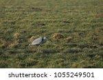 gray heron with prey in its beak | Shutterstock . vector #1055249501
