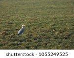 gray heron with prey in its beak | Shutterstock . vector #1055249525