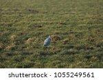 gray heron with prey in its beak | Shutterstock . vector #1055249561