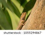 the oriental garden lizard ... | Shutterstock . vector #1055294867