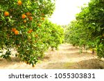 close up of ripe organic... | Shutterstock . vector #1055303831