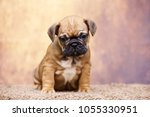 puppy of the french bulldog   Shutterstock . vector #1055330951