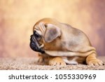 puppy of the french bulldog   Shutterstock . vector #1055330969