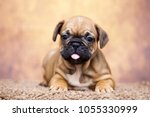 puppy of the french bulldog   Shutterstock . vector #1055330999