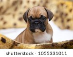 puppy of the french bulldog   Shutterstock . vector #1055331011