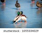 Wild Ducks Male Fights On...