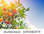 ripe oranges fruit on a tree in ... | Shutterstock . vector #1055382575