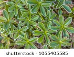 Small photo of Alpine lady's-mantle (Alchemilla alpina) star shaped leaves in pattern as wallpaper