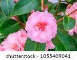 Pink camellia flower on...