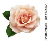 Stock vector realistic pink tea color rose queen of beauty 1055435864
