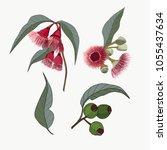 hand drawn australia native gum ... | Shutterstock .eps vector #1055437634