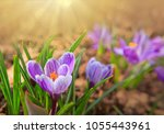 Easter Card. Purple Crocuses...