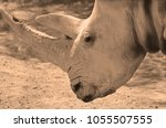 the white rhinoceros or square... | Shutterstock . vector #1055507555