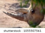 the white rhinoceros or square... | Shutterstock . vector #1055507561