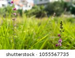 pink flowers of mimosa pudica ...   Shutterstock . vector #1055567735