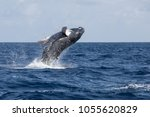 a humpback whale  megaptera... | Shutterstock . vector #1055620829