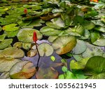 beautiful lotus and leaves in... | Shutterstock . vector #1055621945