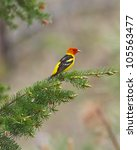 Male Western Tanager Resting O...