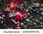 many red maple leaf fall on the ... | Shutterstock . vector #1055699291