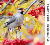 Small photo of the waxwing eats autumn rowan berries
