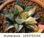 haworthia pygmaea tiger... | Shutterstock . vector #1055752154
