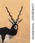 A Male Blackbuck  Antilope...