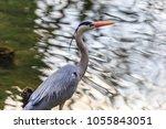 the grey heron  ardea cinerea   ... | Shutterstock . vector #1055843051