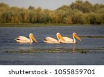 pelicans in danube delta  the... | Shutterstock . vector #1055859701