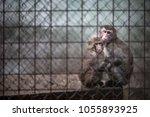 sad monkeys behind bars in...   Shutterstock . vector #1055893925