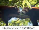 Red Panda Up In A Tree Eating...