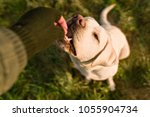 young labrador retriever dog... | Shutterstock . vector #1055904734